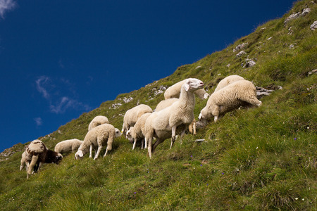 Flock Of Sheep on mountain meadow, Triglav National park, Slovenia