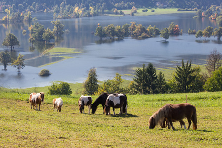 Flock of Ponies on Meadow over Lake, Planinsko polje, Slovenia