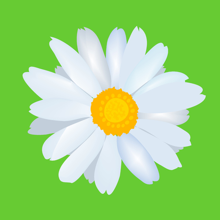 margerite: Beautiful daisy flower camomile. Vector.