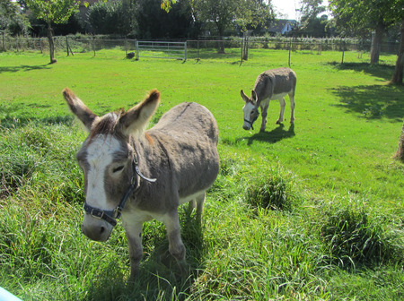 baby ass: Two donkeys, mother and a cub standing in green surrounding looking at the camera.