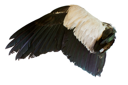 Bird wings isolated on white background photo