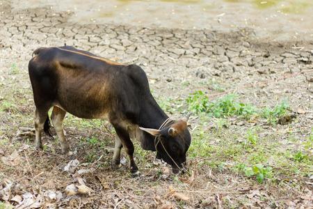 heifers: Black cow eating grass.