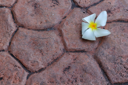 White frangipani flower on concrete background.
