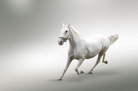 ippica:  Immagine isolata del cavallo bianco in movimento