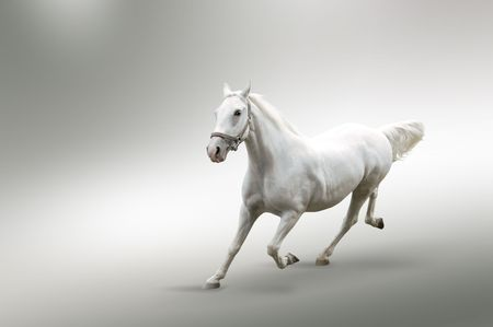 stallions:  Isolated picture of white horse in motion