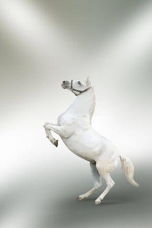 photomanipulation: white horse rearing isolated