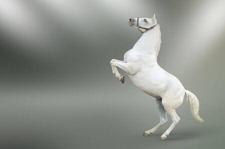 white horse rearing isolated