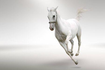 white tail: Immagine isolata del cavallo bianco in movimento  Archivio Fotografico