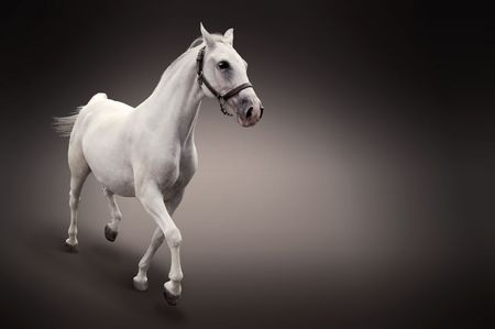 White horse in motion isolated on black photo
