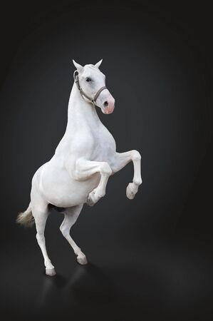 stallion: White horse rearing isolated on black