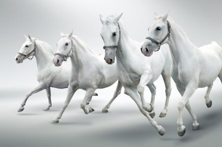 horse: Caballos blancos  Foto de archivo