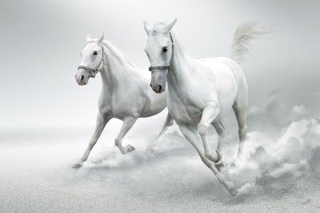 carreras de caballos: Caballos blancos  Foto de archivo