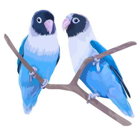 Paar blauwe gemaskerde liefhebbers. Twee kleine papegaaien geïsoleerd op een witte achtergrond