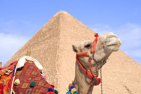 saddle camel: Closeup of camel with Great Pyramid of Giza blurred in the background.  Near Cairo, Egypt.
