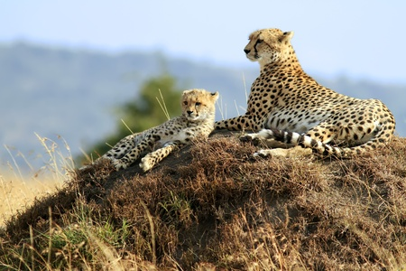 maasai mara: A cheetah (Acinonyx jubatus) and cheetah cub on the Maasai Mara National Reserve safari in southwestern Kenya. Stock Photo