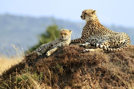 Ein Cheetah (Acinonyx Jubatus) und Cheetah Cub auf der Safari Masai Mara National Reserve im südwestlichen Kenia.
