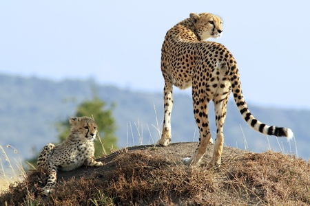 A cheetah (Acinonyx jubatus) and cheetah cub on the Maasai Mara National Reserve safari in southwestern Kenya. Reklamní fotografie - 9339524