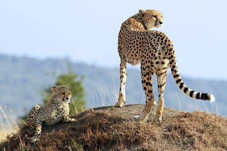 cheetah: Un guepardo (Acinonyx jubatus) y su cachorro de guepardo en el safari de la reserva nacional de Masai Mara en Kenya suroeste.
