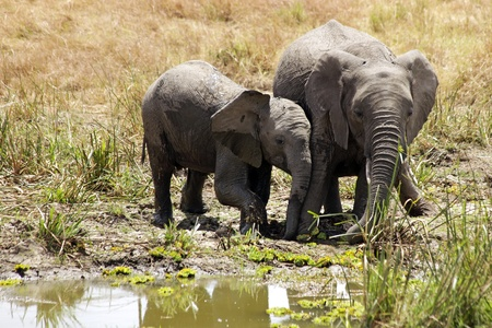 maasai mara: Elephants (Loxodonta) on the Maasai Mara National Reserve safari in southwestern Kenya. Stock Photo