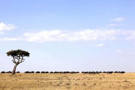 maasai mara: Wildebeest (Connochaetes) migrating on the Maasai Mara National Reserve safari in southwestern Kenya. Stock Photo