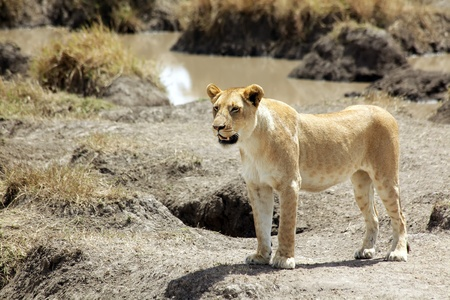 A lioness (Panthera leo) on the Maasai Mara National Reserve safari in southwestern Kenya. photo