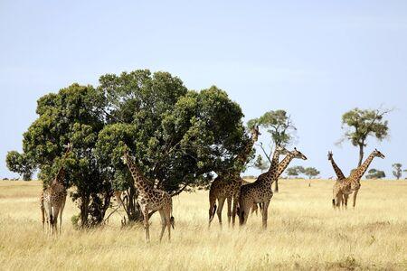 A herd of giraffes (Giraffa camelopardalis) on the Maasai Mara National Reserve safari in southwestern Kenya. photo