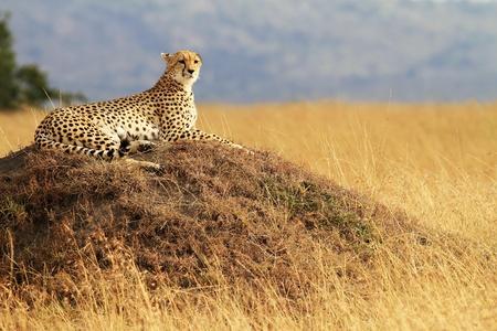 guepardo: Un guepardo (Acinonyx jubatus), en el safari de la reserva nacional de Masai Mara en Kenya suroeste. Foto de archivo