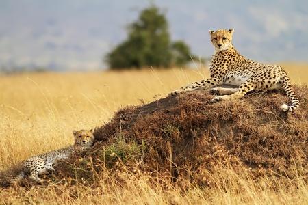 guepardo: Un guepardo (Acinonyx jubatus) y su cachorro de guepardo en el safari de la reserva nacional de Masai Mara en Kenya suroeste.