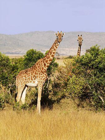maasai mara: Una mandria di giraffe (Giraffa camelopardalis) su safari in Kenya sudoccidentale Masai Mara National Reserve.