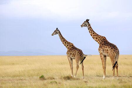 maasai mara: Due giraffe (Giraffa camelopardalis) su safari in Kenya sudoccidentale Masai Mara National Reserve.