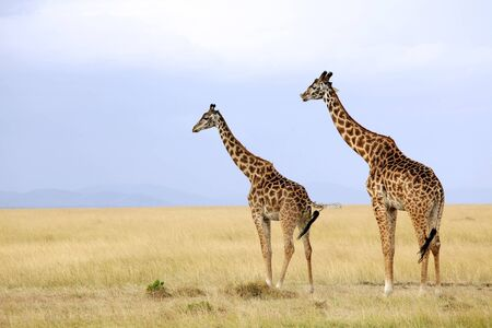 maasai mara: Two giraffes (Giraffa camelopardalis) on the Maasai Mara National Reserve safari in southwestern Kenya.