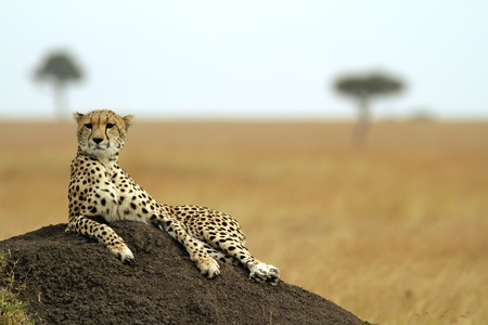 africa safari: A cheetah (Acinonyx jubatus) on the Masai Mara National Reserve safari in southwestern Kenya.