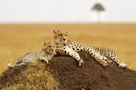 A cheetah (Acinonyx jubatus) and cheetah cub on the Masai Mara National Reserve safari in southwestern Kenya. photo