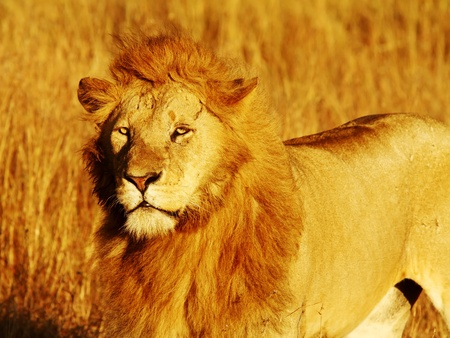 A lion (Panthera leo) on the Masai Mara National Reserve safari in southwestern Kenya. 版權商用圖片