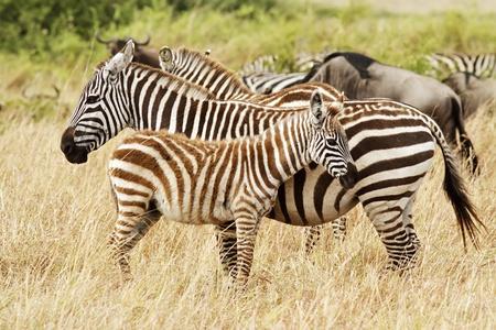 Zebra foal with mother on the Masai Mara in southwestern Kenya. photo