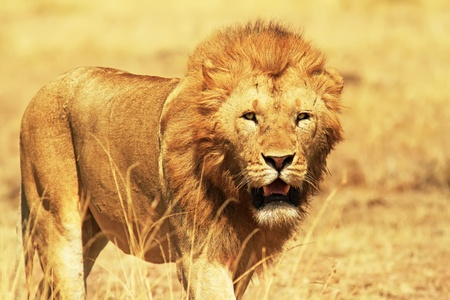 A lion (Panthera leo) on the Masai Mara National Reserve safari in southwestern Kenya. photo