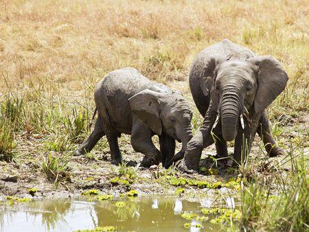 maasai mara: Elephants (Loxodonta) on the Maasai Mara National Reserve safari in southwestern Kenya. Stock Photo