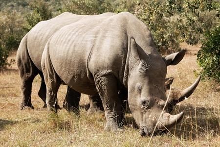 白いサイまたはスクエア唇サイ (Ceratotherium シロ) マサイマラ国立保護区南西ケニアの近く。