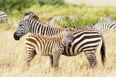 Zebra foal with mother on the Masai Mara in southwestern Kenya. Stock Photo