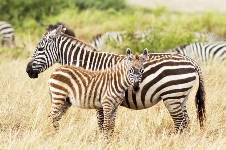Zebra poulain avec sa mère sur le Masai Mara au sud-ouest du Kenya.