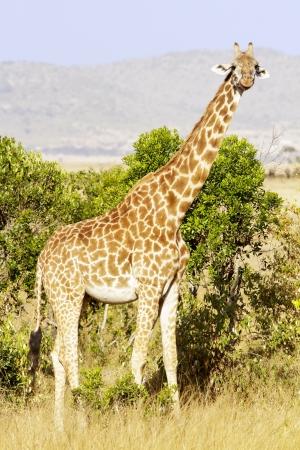 maasai mara: Giraffa Giraffa camelopardalis sul Masai Mara National Reserve in Kenya sudoccidentale Archivio Fotografico