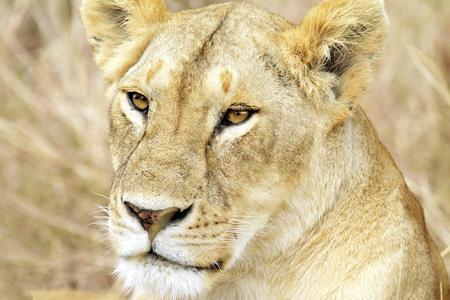 female lion: A lion  Panthera leo  on the Maasai Mara National Reserve safari in southwestern Kenya