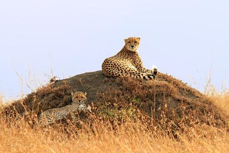 cheetah cub: A cheetah (Acinonyx jubatus) and cheetah cub on the Masai Mara National Reserve safari in southwestern Kenya. Stock Photo