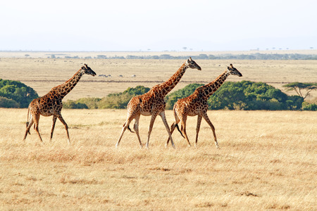maasai mara: Giraffes (Giraffa camelopardalis) on the Maasai Mara National Reserve safari in southwestern Kenya.