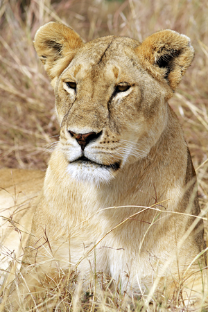 maasai mara: A lion (Panthera leo) on the Maasai Mara National Reserve safari in southwestern Kenya.