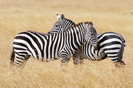 Zebras on the Masai Mara in southwestern Kenya  photo