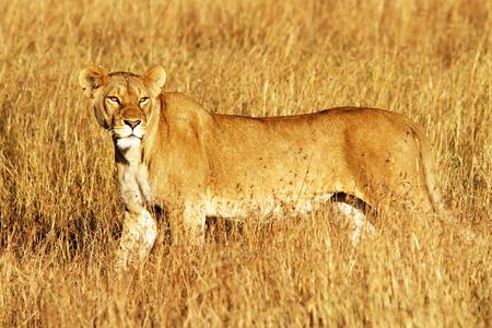 maasai mara: A lion (Panthera leo) on the Maasai Mara National Reserve safari in southwestern Kenya.