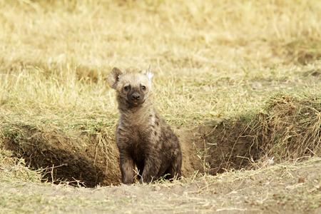 animal den: A young hyena (Hyaenidae) on the Masai Mara National Reserve safari in southwestern Kenya.