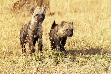 hienas: Hienas jóvenes (Hyaenidae) en el Nacional de Masai Mara safari de la reserva en el suroeste de Kenia.