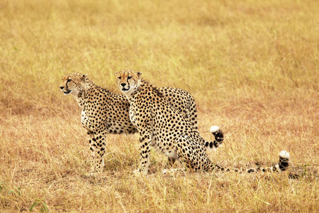Cheetahs (Acinonyx jubatus) on the Masai Mara National Reserve safari in southwestern Kenya.